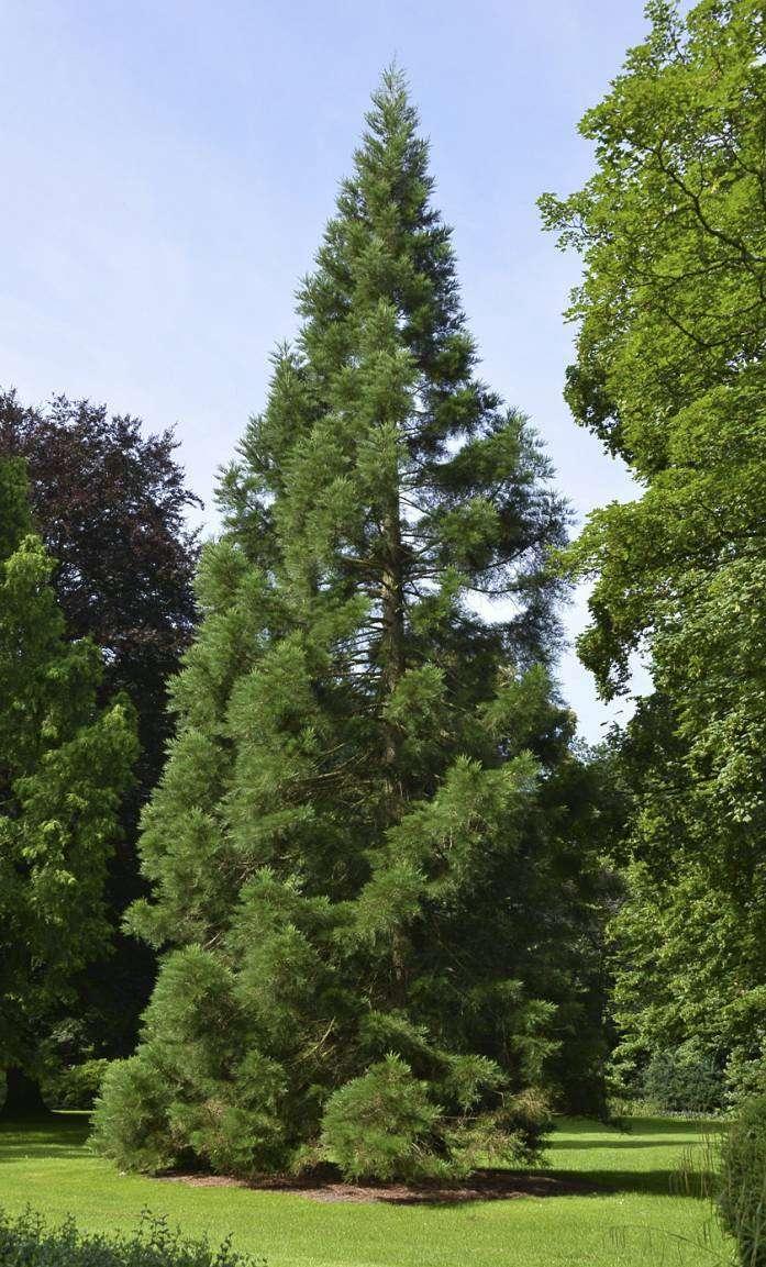 Diese Douglasie im Kreishauspark ist ein Naturdenkmal. Foto: Joachim Looks