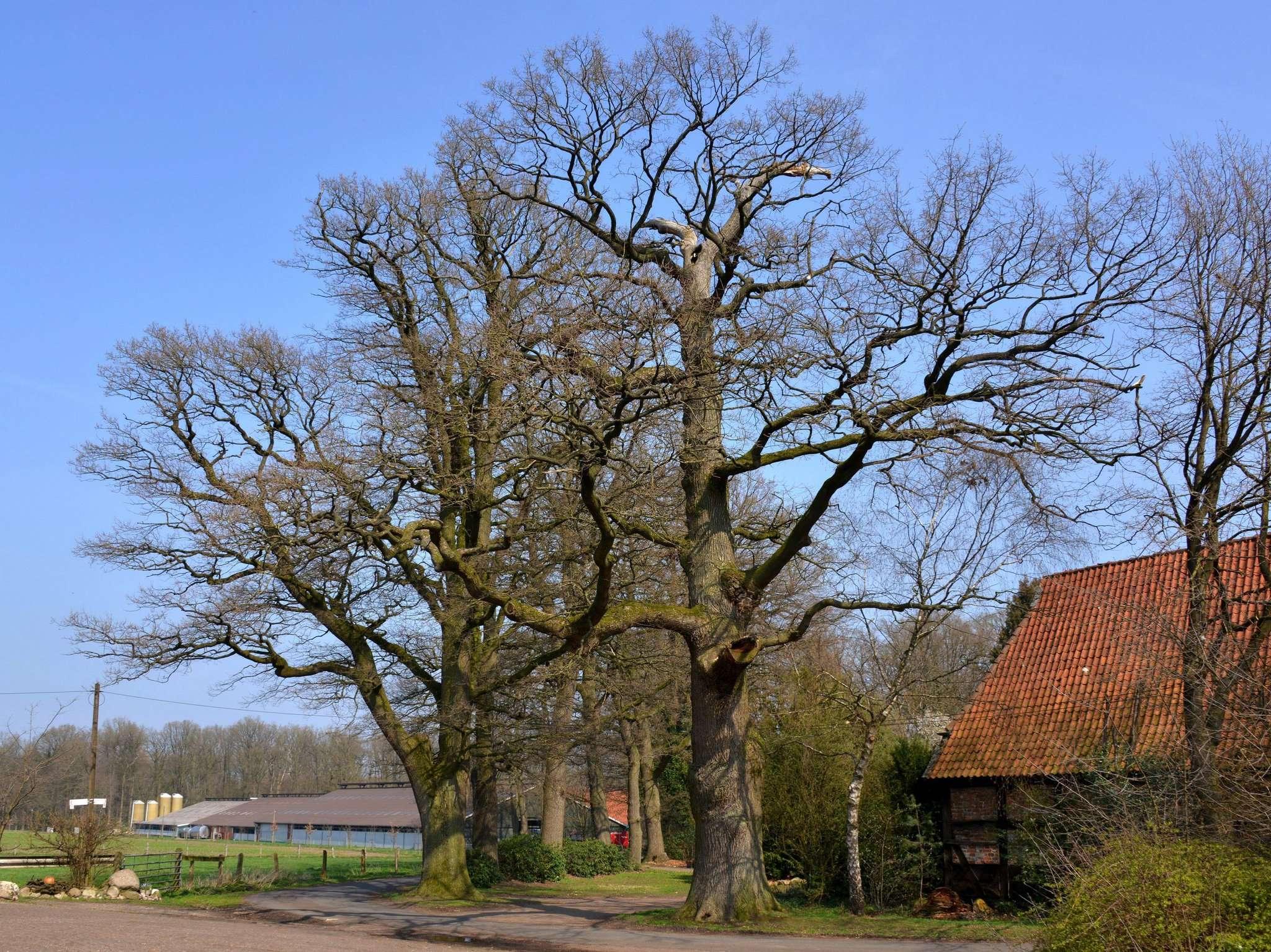 Diese stattliche Eichengruppe am Ortsrand von Riekenbostel ist jetzt als Naturdenkmal eingetragen. Foto: Joachim Looks