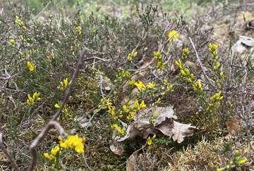 Ein Sonnenkind erfeut mit goldgelben Blüten  und ist bedroht  Von Christiane Looks