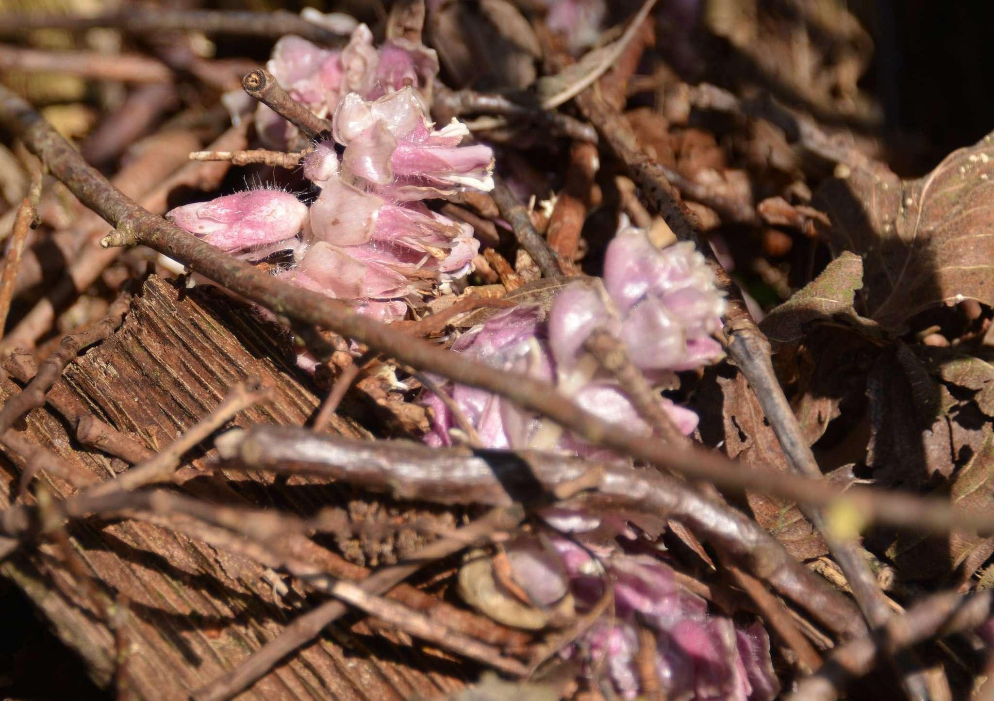 Der Gewöhnliche Schuppenwurz ist eine ungewöhnliche Pflanze.