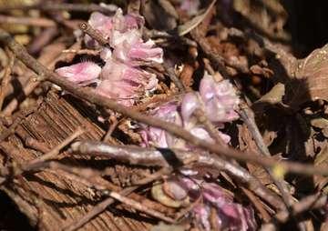 Die Gewöhnliche Schuppenwurz  eine ungewöhnliche Pflanze  Von Chrstiane Looks