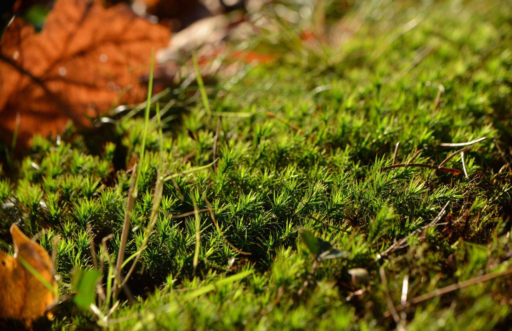 Schönes Widertonmoos u2013 häufiges Moos in Wäldern. Foto: Joachim Looks