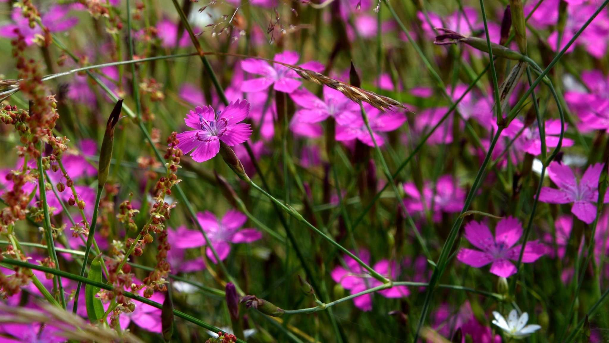 Blüten der Heide-Nelke am Originalstandort. Foto: Joachim Looks