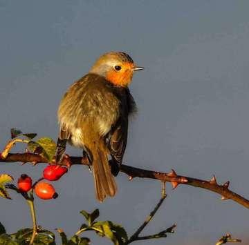 Nabu Niedersachsen Rotkehlchen ist Vogel des Jahres