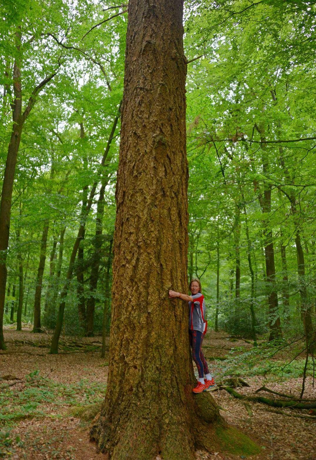 Diese Douglasie im Höpen bei Westertimke ist 125 Jahre alt und 34 Meter hoch. Foto: Joachim Looks