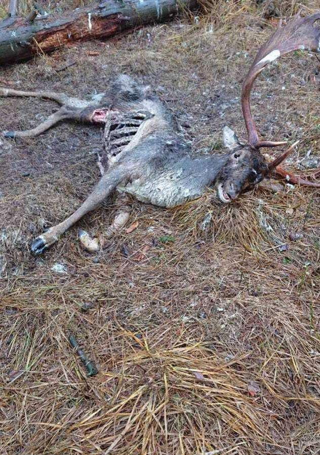 Der verendete Hirsch hatte Folie im Magen.