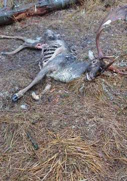 Hirsch im Jagdrevier verendet