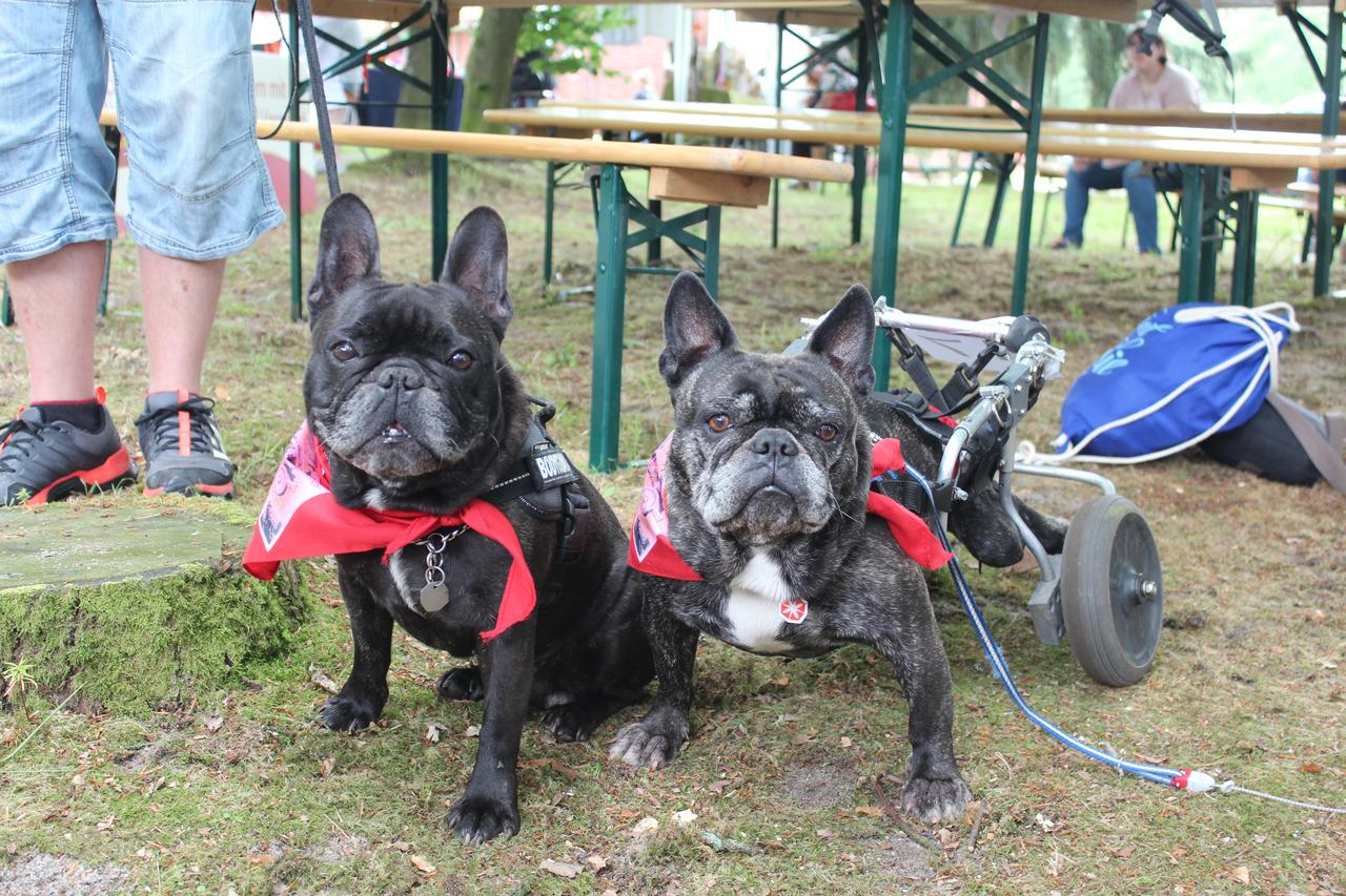 Die französischen Bulldoggen Jamie und Percy sind unzertrennlich. Der Rolli ermöglicht es Jamie, genauso wie vorher mit seinem Bruder durch die Gegend zu flitzen.