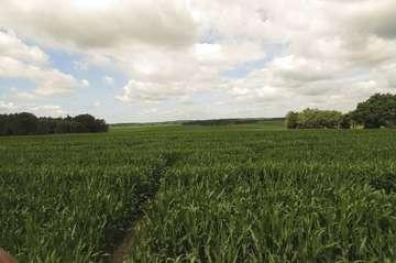 Maislabyrinth in Rockstedt bleibt bis zum 3 Oktober geöffnet