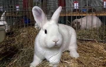 Der Kaninchenzüchterverein feiert 80jähriges Jubiläum