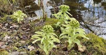 Pestwurz eine Pflanzengattung  viele Einsatzmöglichkeiten