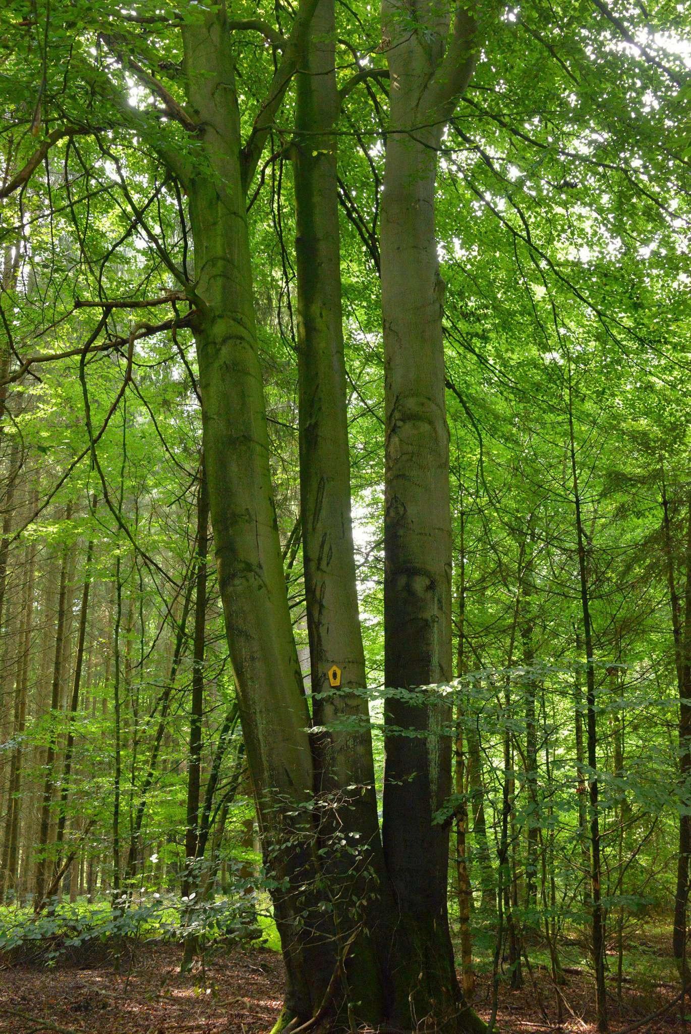 Die Drillingsbuche im Scheeßeler Holz ist ein geschütztes Naturdenkmal. Foto: Joachim Looks