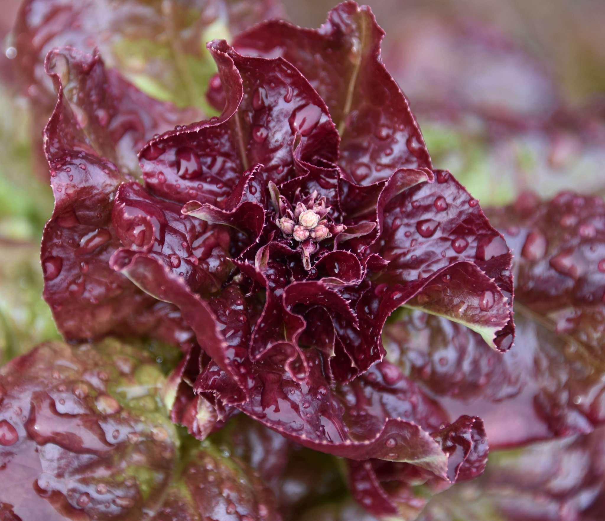 Faszinierend: Salate entwickeln Blüten. Aber andererseits: Wie sonst sollten sich die Pflanzen fortpflanzen?