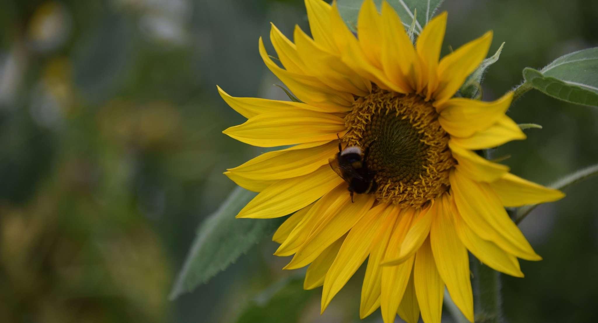 Sonnenblumen sind im Saisongarten Bötersen ein viel gesehener Blickfang. Die Hummeln freutu2019s.