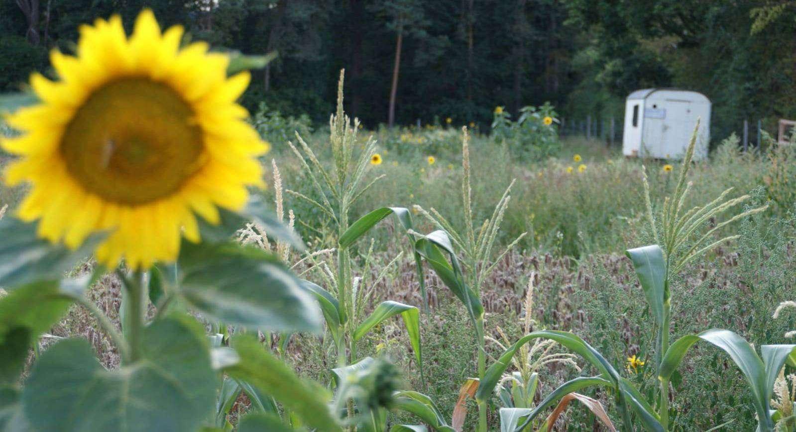 Schon im frühen Morgenlicht strahlt das Gelb der Sonnenblumen über den Saisongarten Bötersen.