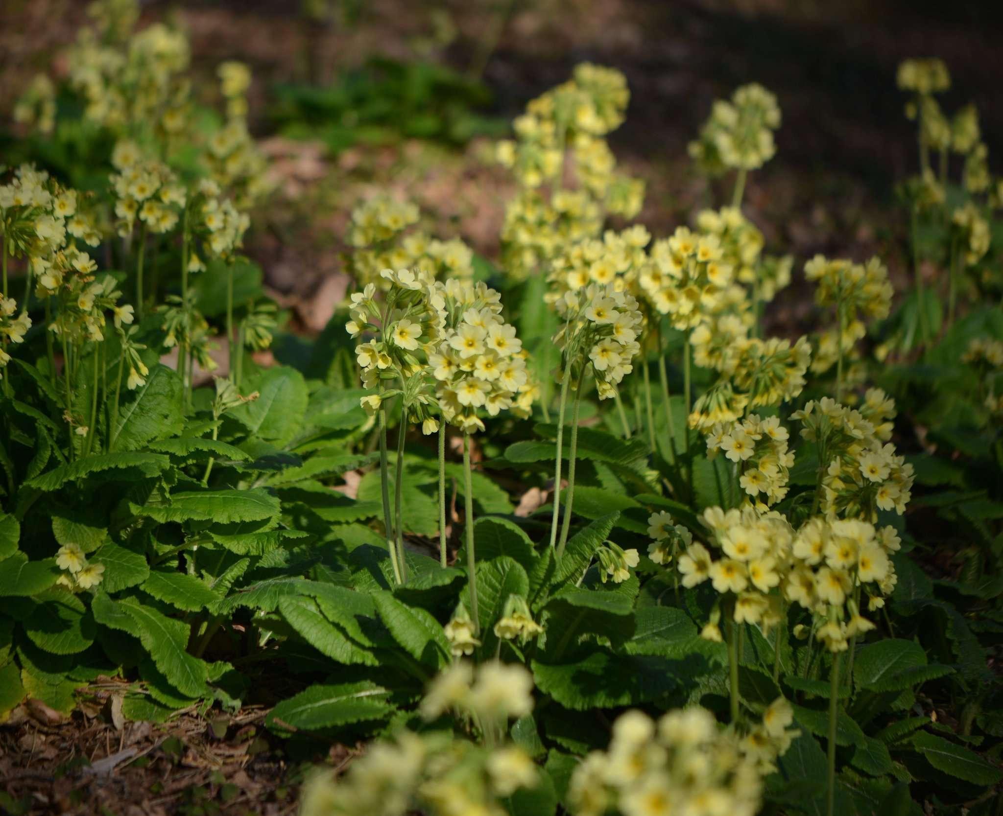 Frühlingsbote: die Wald-Schlüsselblume. Foto: Joachim Looks