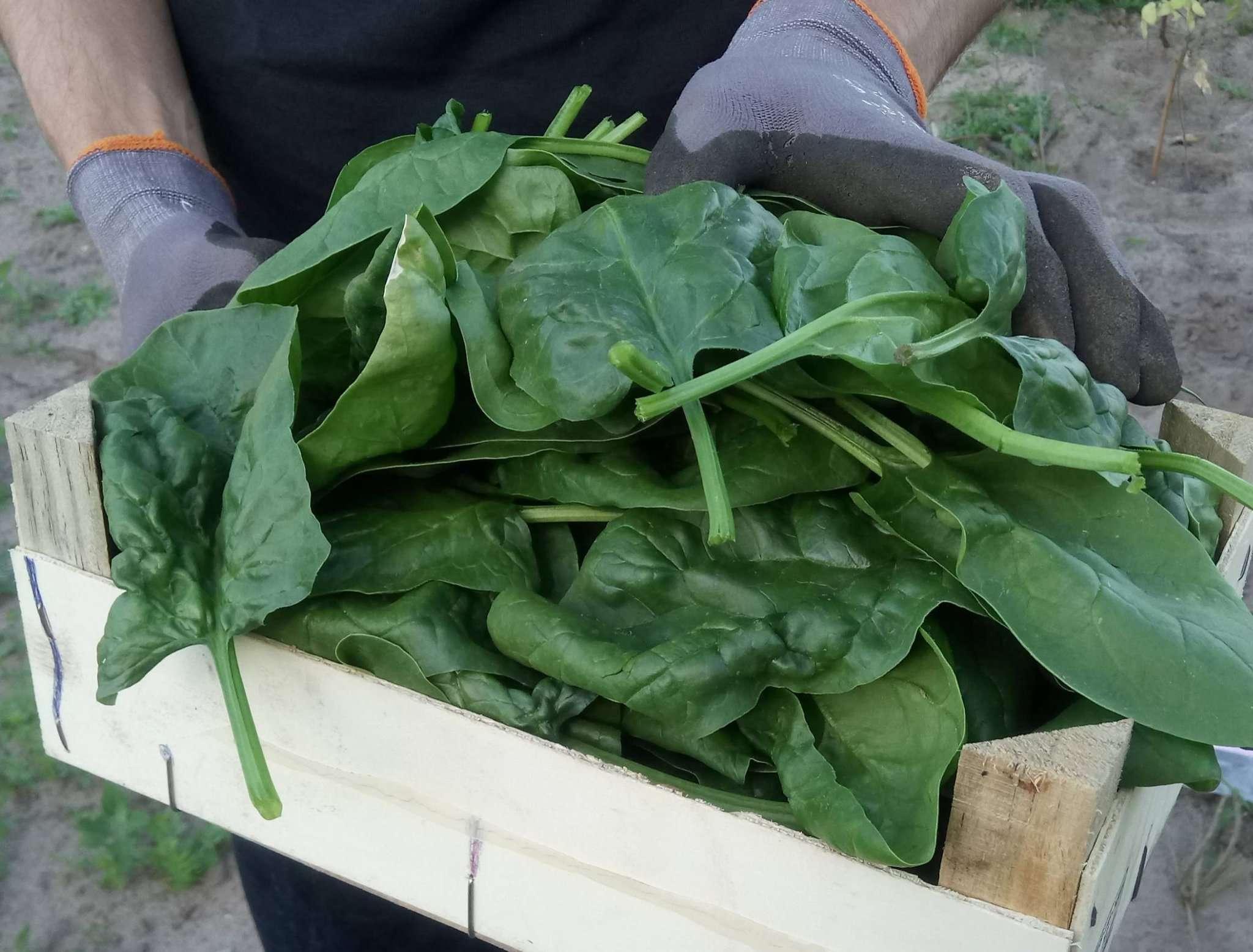 Sieht nach viel aus, wird aber nach kurzer Zeit in Topf oder Pfanne relativ übersichtlich: Spinat.