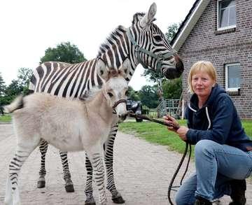 Mutter Zebra Vater Esel In Hiddingen lebt ein Zeselmädchen  Von Nina Baucke