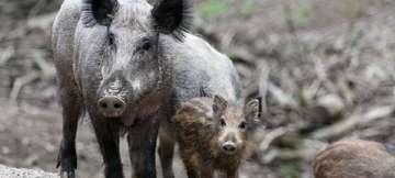 Landkreis wappnet sich gegen die Schweinepest