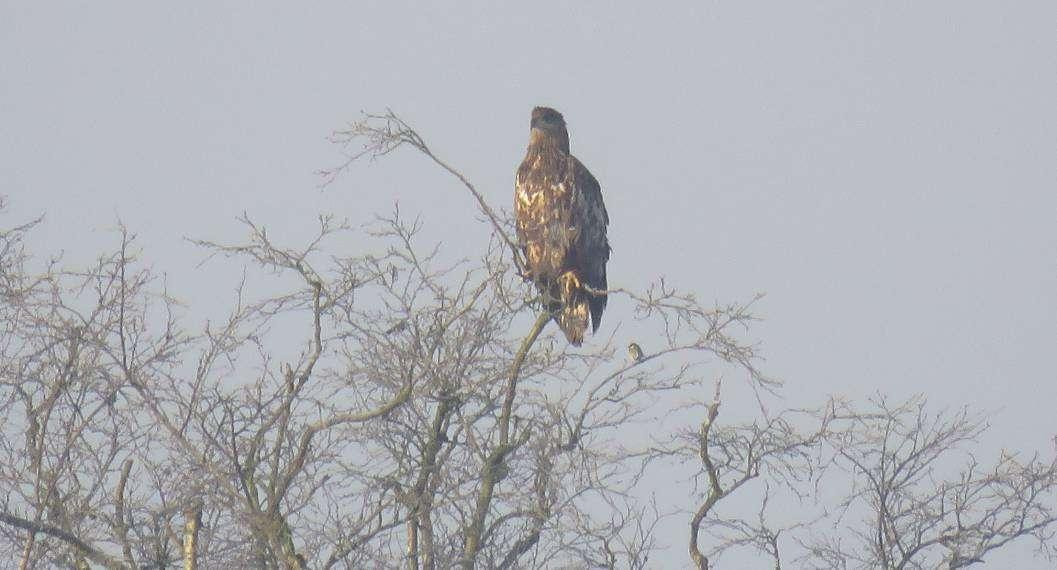 Die Meise im Geäst (rechts) rückt den Adler ins rechte Größenverhältnis.