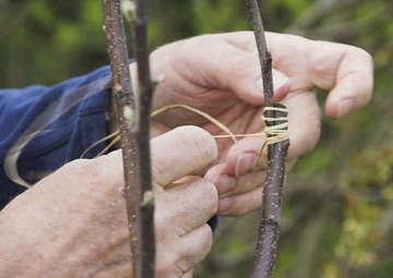 Seminar zur Obstbaumveredelung