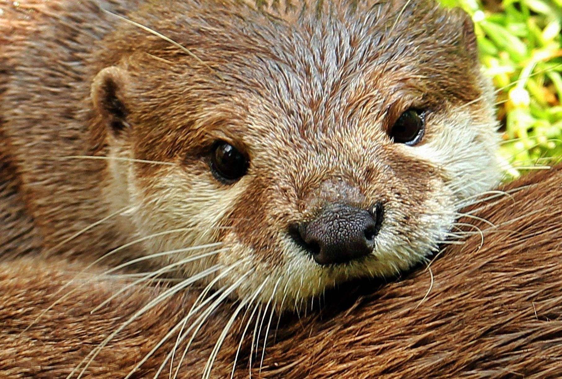 Die Deutsche Wildtierstiftung ernennt den Fischotter, das Wappentier von Ottersberg, zum