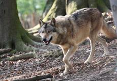 Dieser Wolf lebt bereits in Niedersachsen, wenn auch nur im Zoo. Tierpfleger Thorsten Vaupel gelang diese Aufnahme