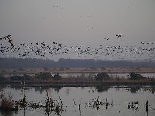 Zu Tausenden fliegen die Kraniche ins Tister Moor ein